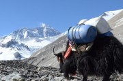 Yak transport service everest